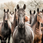 Veterinary Technicians and the Large Animal Ranching Sector