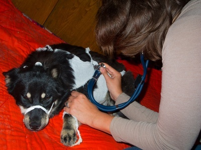 Veterinarian inspects a sick stray dog at the shelter